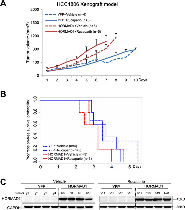 The HCC1806 xenograft model does not respond to Rucaparib, regardless of HORMAD1 overexpression, and overexpression of HORMAD1 moderately increases tumor growth independent of Rucaparib treatment.