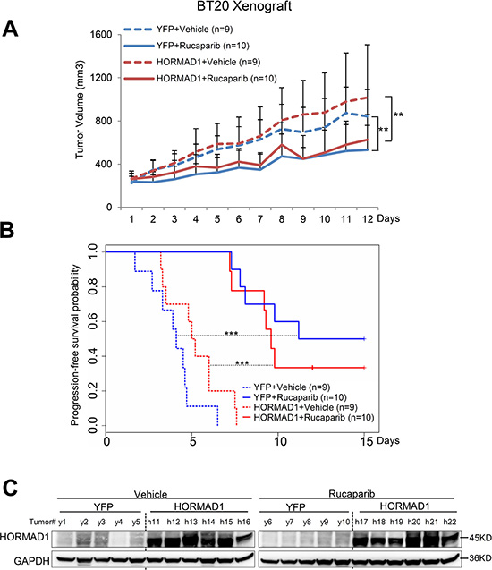 HORMAD1 overexpression does not change tumor growth rate or the effect of Rucaparib in the BT20 xenograft model.