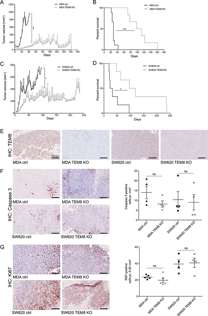 The knockout of TEM8 inhibits breast and colorectal cancer growth and prolongs survival in vivo.