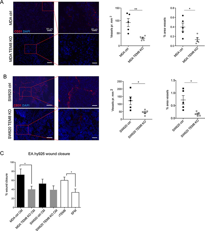 TEM8 promotes vessel formation in breast and colorectal tumors.