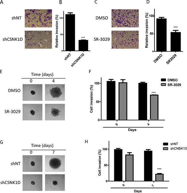 Effect of CSNK1D inactivation on matrigel invasion.