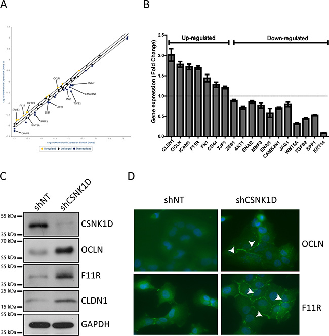 PCR array analysis and validation of genes differentially expressed between shNT and shCSNK1D cells.