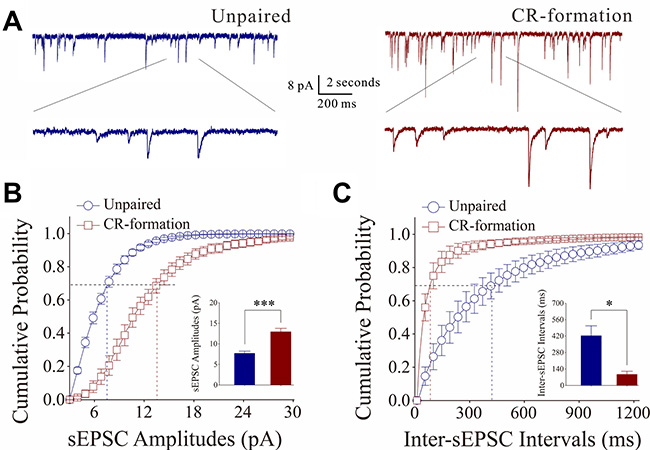 Excitatory synaptic transmission on barrel cortical GABAergic neurons increases after multisensory associative leaning.
