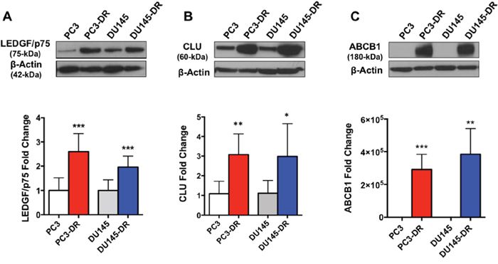 DTX-resistant PC3 and DU145 cell lines upregulate known markers of DTX resistance.