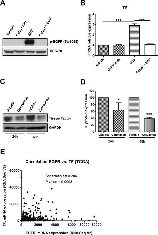 EGFR activation upregulates TF in cervical cancer cells.