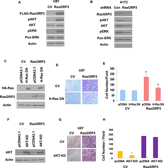 Roles of Ras and AKT activation in RasGRP3-induced glioma cell migration.
