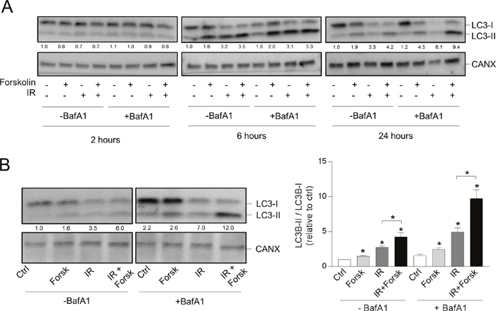 cAMP signaling enhances the DNA damage-induced LC3-II/LC3-I ratio.