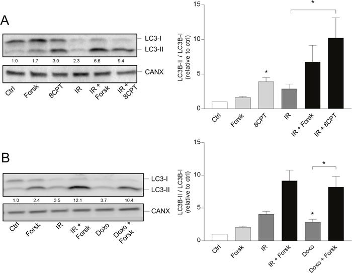 PKA- and doxorubicin-mediated autophagy.