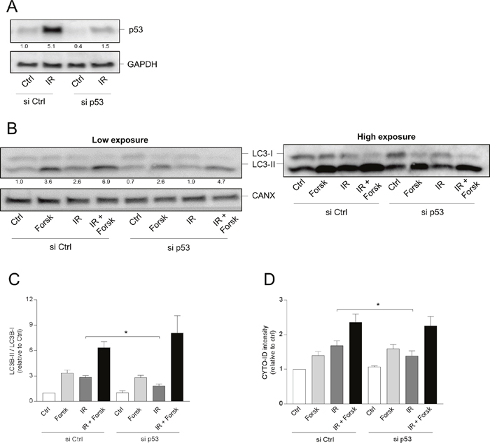 p53 is involved in IR-, but not in cAMP-induced autophagy.
