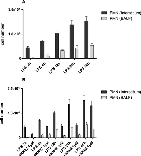 PMN migration into the interstitium and BALF.