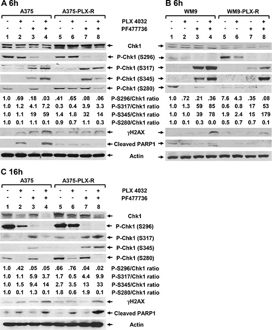 Expression of DNA damage response proteins in melanoma cells following treatments with BRAFi and/or Chk1i.
