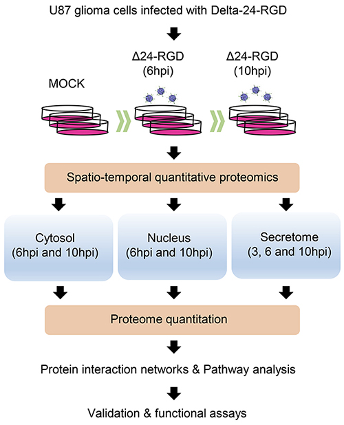 Hybrid proteomic approach to define spatial-temporal changes in organelle proteomes throughout Delta-24-RGD Infection.