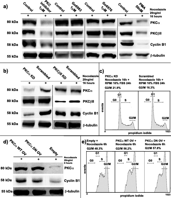 Protein kinase C α (PKCα) involvement in Cyclin B1 regulation.