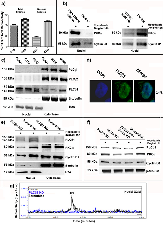 PLCβ1 related nuclear DAG increase at G2/M stimulates nuclear translocation of PKCα and Cyclin B1.
