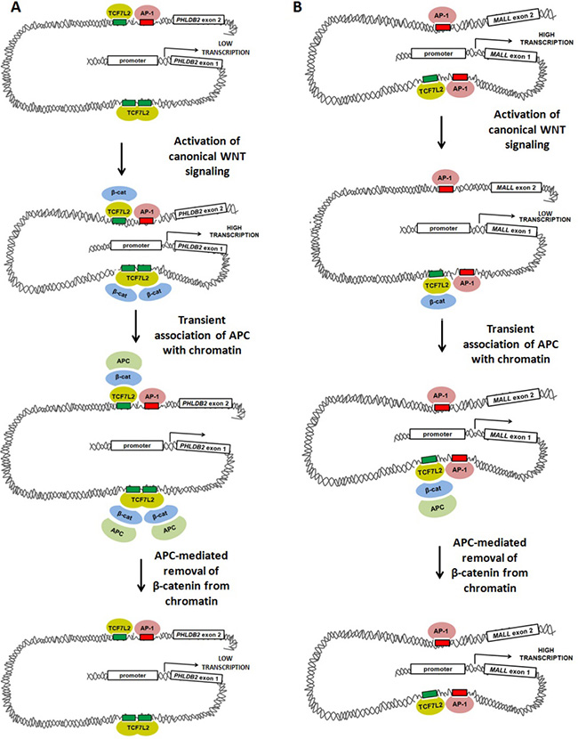Models of WNT-mediated transcriptional activation and repression involving TCF7L2, AP-1, β-catenin and APC.