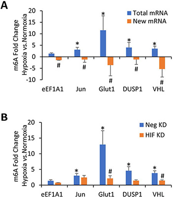 m6A methylation of specific mRNAs increases in transformed HMECs exposed to hypoxia in a HIF dependent manner.