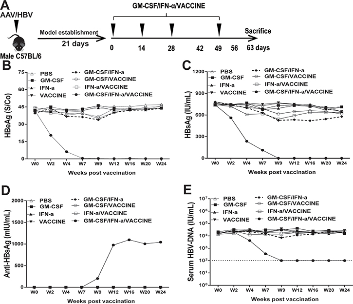 Treatment of AAV8-1.3HBV-infected mice with GM-CSF plus IFN-α combined with VACCINE (GM-CSF/IFN-α/VACCINE) decreased the infection.
