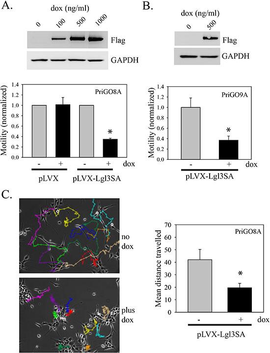 Inhibition of PriGO cell motility by Lgl3SA.