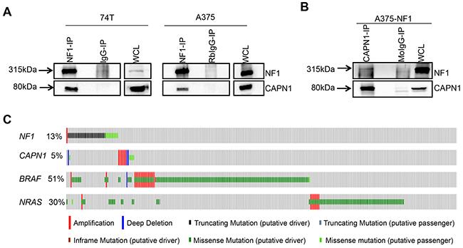 CAPN1 is a novel binding partner of NF1.