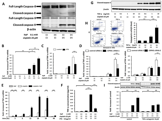 Enhancement of cisplatin-induced apoptosis by NaP through the TNF-α-induced extrinsic apoptotic pathway.