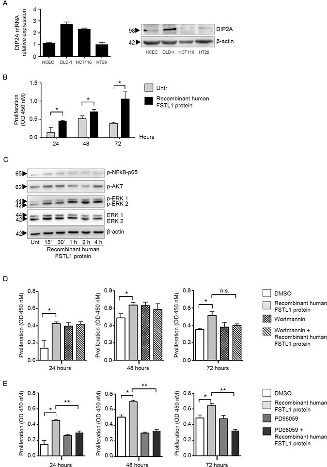 FSTL1 stimulates epithelial cell proliferation through an ERK-dependent mechanism.