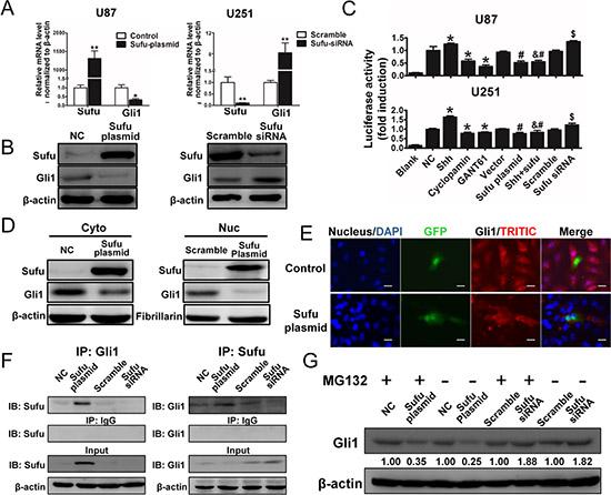 Sufu suppressed Gli1 transcription activity via directly bound to Gli1, resulting Gli1 nuclear-localization inhibition and proteolysis.