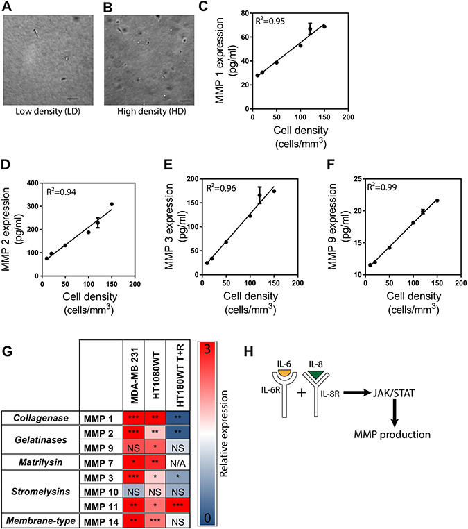 MMP expression is regulated by cancer cell density via the signaling of IL-6 and IL-8.