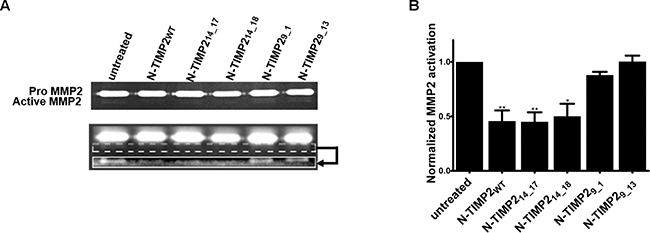 Inhibition of MMP2 activation by MMP14.