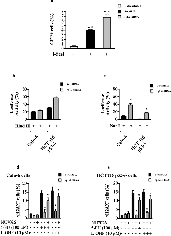 Role of rpL3 in the Homologous Recombination and Non-homologous End Joining.