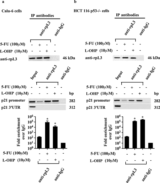 Analysis of the interaction between rpL3 and p21 gene promoter in response to 5-FU and L-OHP treatments.