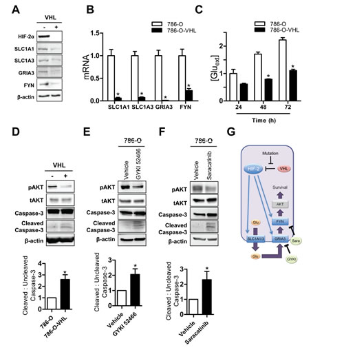 HIF-mediated glutamate signaling in 786-O ccRCC cells.