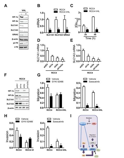 HIF-mediated glutamate signaling in RCC4 cells.