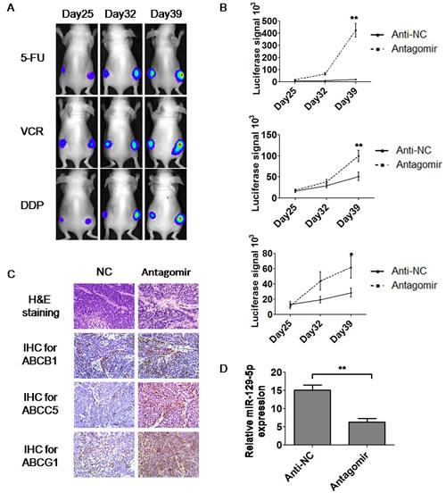 MiR-129-5p antagomirs modulated MDR in tumor-bearing nude mice.