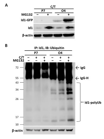 Paclitaxel and cisplatin down-regulated Id1 expression in NSCLC cells through protein ubiquitination/proteosome degradation system.