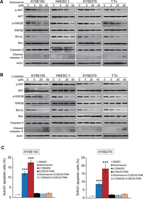 Effects of wortmannin and LY294002 on PI3K/AKT pathway and expressions of apoptosis-associated proteins.