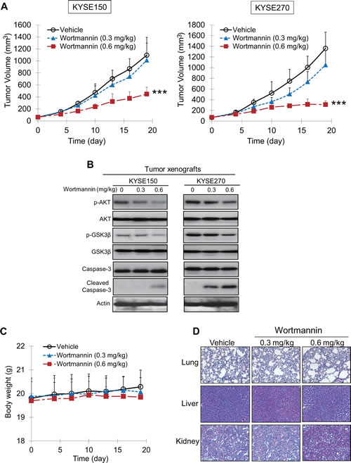 Effects of wortmannin on suppressing growth of human esophageal tumor xenografts in nude mice.
