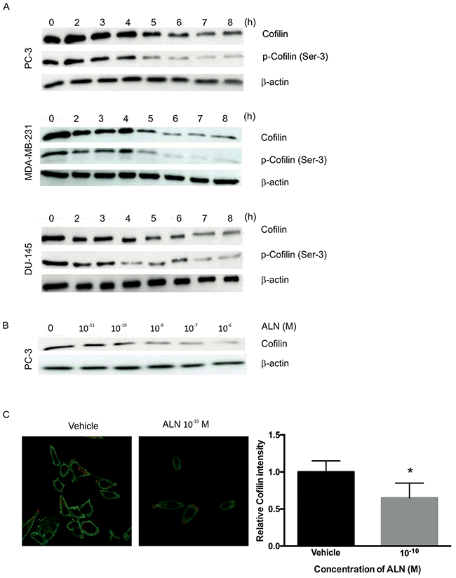 ALN decreases cofilin protein levels in PC-3, DU-145 and MDA-MB-231 cells.