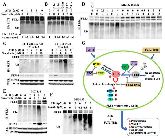 ATO induces poly-ubiquitination and degradation of FLT3.