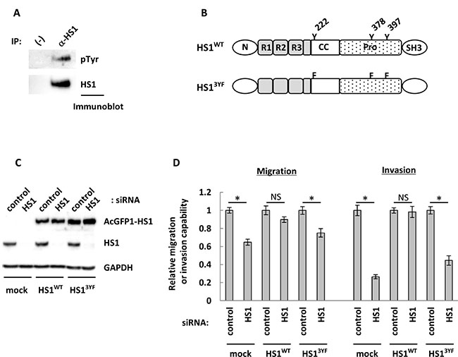 Phosphorylation of tyrosine residues may contribute to the impact of HS1 on cell migration and invasion abilities.