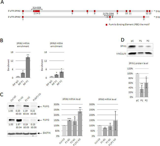 PUM1 and PUM2 proteins bind and regulate SPIN1 and SPIN3 mRNAs.