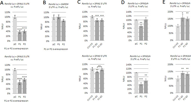 Influence of PUM1 and PUM2 proteins on luciferase reporter constructs carrying SPIN1 or SPIN3 3ʹUTRs.