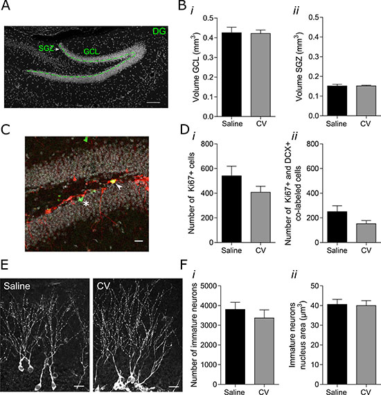 Effect of CV administration on the volumes of the GCL and SGZ of the hippocampal DG, on proliferation of DCX-positive cells and on the number and nucleus area of immature neurons in the DG of mouse hippocampus.