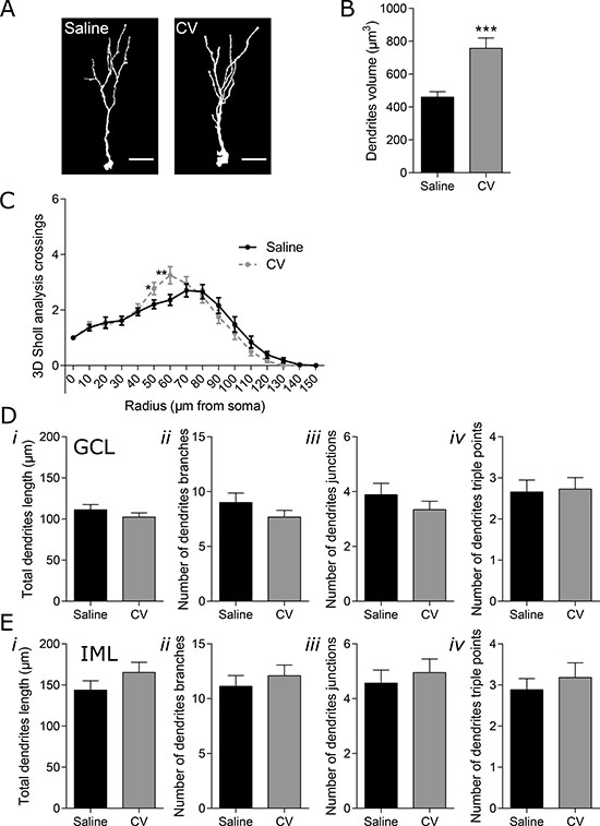 Effect of CV on the morphology of DG short immature neurons of mouse hippocampus.