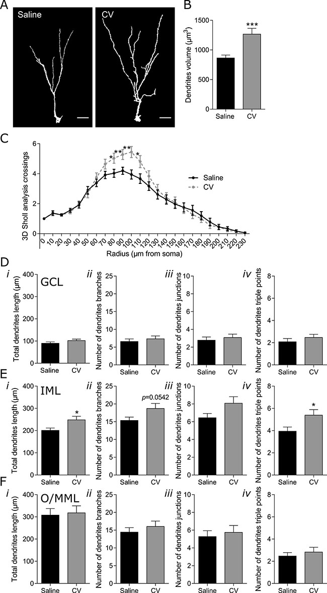 Effect of CV on the morphology of DG long immature neurons of the mouse hippocampus.