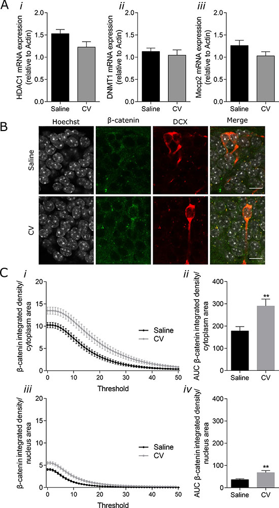 Effect of CV on mRNA expression of HDAC1, DNMT1 and Mecp2 in the mouse hippocampus and on β-catenin levels in the cytoplasm and nucleus of DG immature neurons.