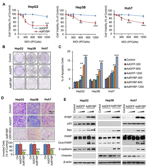 Fig.3: AdRYBP infection suppresses the malignant properties of HCC cells.