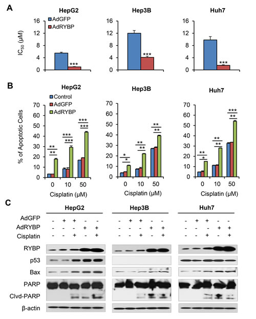 Fig.5: AdRYBP infection increases the chemosensitivity of HCC cells to cisplatin.