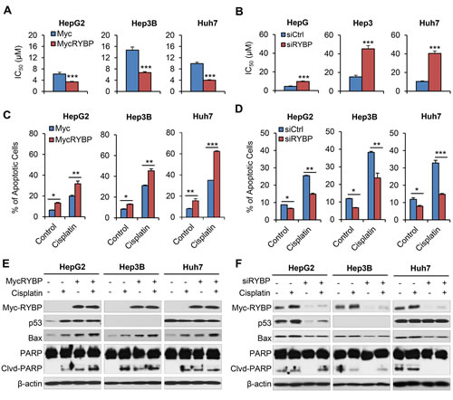 Fig.4: RYBP overexpression and knockdown affect the chemosensitivity of HCC cells to cisplatin.