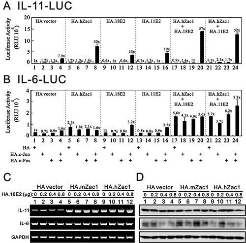 HPV E2 protein within the Zac1/AP1 complex enhances IL-11 promoter activities.
