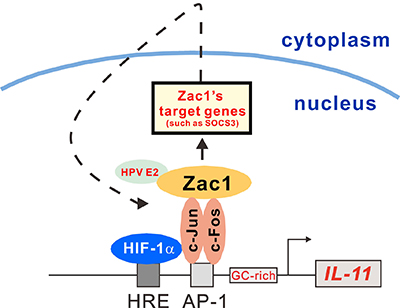 Schematic representation of the HRE and AP-1 binding element and the GC-rich region of the IL-11 promoter.